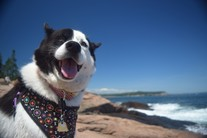Dog grinning from ear to ear in Acadia National Park. Photo by Barbara Robbins (www.sharetheexperience.org).