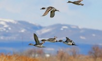 northern pintails fly over bear river usfws photo j_kelly