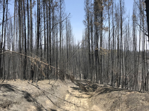 River Fire dead trees