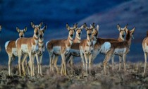 pronghorn_nv_blm photo by chip carroon