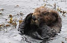 Southern sea otter rests in a patch of feather boa kelp. photo by usfws