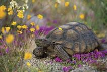 Tortoise in desert with flowers