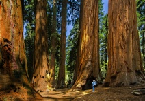 A visitor takes in the beauty and wonder of the towering sequoia trees on the Congress Trail. Photo by Richard Thompson (www.sharetheexperience.com)