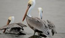 pelicans roosting at oregon coast national wildlife refuge. usfws - photo roy w lowe.