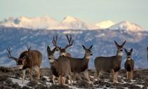 Deer in bunch graze in snowy mountain range
