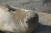 Elephant Seal on beach