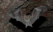 lake mead nra california leaf-nosed bat nps photo web
