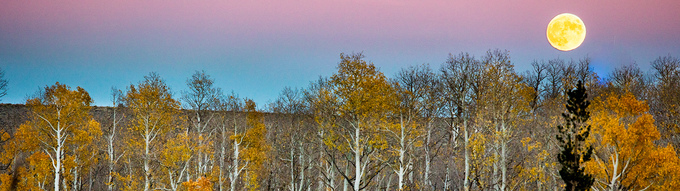 Full moon above horizon with pink and blue sky with yellow trees