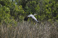 Crane flying in wetland