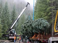 2018 Capitol Christmas Tree from the Willamette National Forest. Photo by USFS.