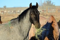 Wild horse, part of the BLM Wild Horse and Burro Adoption Program. Photo by BLM.
