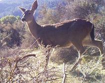 Blacktail Deer. Photo by BLM.