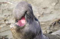 Elephant seal near Piedras Blancas. Photo by Bob Wick, BLM.
