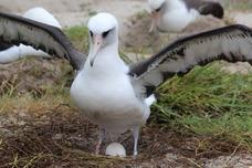 Wisdom, world's oldest bird. Photo by USFWS.