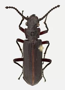 Ozaena lemoulti beetle. Photo by Wendy Moore via Science Friday.