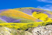 2017 wildflowers at Carrizo Plain National Monument. Photo by Bob Wick, BLM.