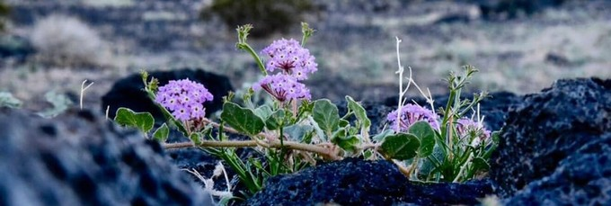 Spring wildflowers at Mojave Trails National Monument. Photo by Kyle Sullivan, BLM.