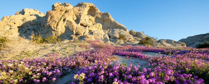 Verbena blooming in the Mecca Hills Wilderness. Photo by Bob Wick, BLM.
