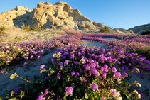 Verbena blooming in the Mecca Hills Wilderness. Photo by Bob Wick, BLM. 2