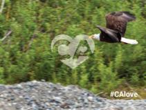 Cach Creek eagle. Photo by Bob Wick, BLM.
