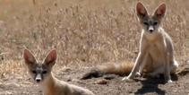 San Joaquin kit foxes in California. Photo by Mike Westphal, BLM.