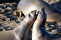 Elephant seal at Piedras Blancas. Photo by Jesse Pluim, BLM.