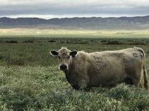 Cattle grazing on public lands. Photo by Doug Herrema, BLM.