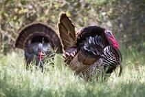 Wild turkey in California. Photo by CDFW.