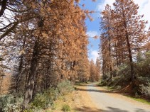 Tree mortality in the Sierra National Forest, August 2017. Photo by USFS.
