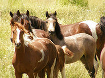 Wild horses on public lands. Photo by BLM.