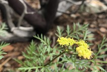 Lomatium kogholiini. Photo by Jennifer Wheeler, BLM.