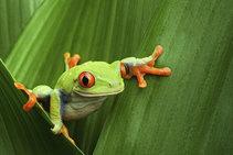 Tree frog stock photo.