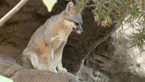 Fox from NWR. Photo by USFWS.