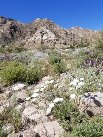 Desert chicory blooming beneath the ancient shoreline of Lake Cahuilla near the Santa Rosa Mountains. Photo by Tracy Albrecht, BLM.