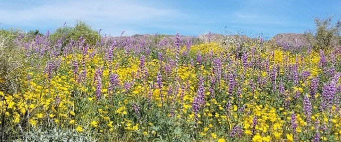 Desert Poppy and Arizona Lupines blooming south of the Cottonwood Mountains, east of Indio, California. Photo by Tracy Albrecht, BLM.