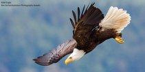 Bald eagle flying. Photo by Audubon.