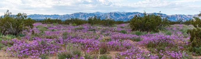 Desert Lily Sanctuary. Photo by Kyle Sullivan, BLM.