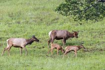 Tule Elk in Cache Creek. Photo by Bob Wick, BLM.