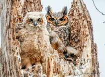 Great horned owl. Photo by USFWS.