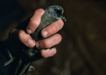 Ashy Storm-Petrels are among the most difficult seabirds to study. Photo courtesy of Jim McAuley.