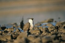 Sage grouse on public lands. Photo by USGS.