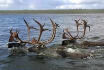 Three bull caribou navigate the Kobuk River at Selawik National Wildlife Refuge in Alaska. Photo by USFWS.