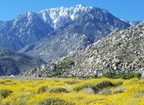 Wildflowers blooming near Mount San Jacinto. Photo by Tracy Albrecht, BLM.