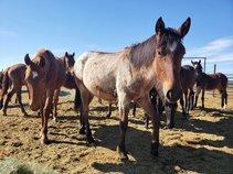 Horses at the Ridgecrest Regional Wild Horse and Burro Corrals. Photo by JJ Nolan, BLM.