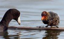 American coot, wetland bird. Photo by USFWS.