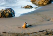 Elephant seal pup. Photo by Jesse Pluim, BLM.