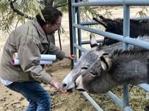 DAC member feeding burro. Photo by Sarah Webster, BLM.