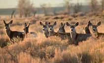Mule deer. Photo by Tom Koerner, USFWS.