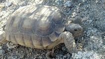 Tortoise in Palm Desert, CA. Photo by Dani Ortiz, BLM.