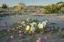 Desert Lily Preserve. Photo by Martin Oliver, BLM.
